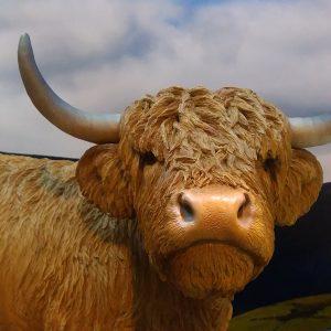 vivid-arts-glee-2016-highland-cattle-3